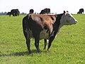 Импортнная корова на просторах Ординского района - panoramio.jpg
