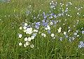 Льон австрійьский (звичайна блакитна окраска та біла форма).jpg