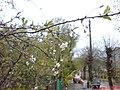 Плакуча весна (вул.Грушевського) - panoramio.jpg