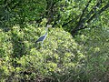 Сіра чапля (Ardea cinerea) - дуже обережний птах, зазвичай близько не підпускає. о.Круглик.jpg
