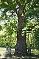 Ходосівський дуб 06.jpg