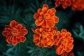ดาวเรืองฝรั่งเศส ( French Marigolds ) (2).jpg