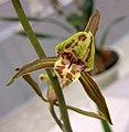 報歲三星蝶 Cymbidium sinense 'Three-Star Butterfly' -香港沙田國蘭展 Shatin Orchid Show, Hong Kong- (12713061634).jpg