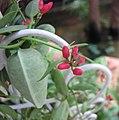 玉荷包 Dischidia pectinoides -香港公園 Hong Kong Park- (9204833147).jpg