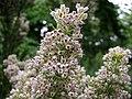 白歐石南 Erica arborea Estrella Gold -比利時 Leuven Botanical Garden, Belgium- (20403669849).jpg