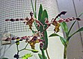 石斛蘭 Dendrobium Burana Twist -香港沙田洋蘭展 Shatin Orchid Show, Hong Kong- (31108383780).jpg