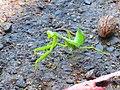 綠色螳螂.jpg