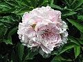 芍藥-遲粉 Paeonia lactiflora 'Late Pink' -北京景山公園 Jingshan Park, Beijing- (12403735355).jpg