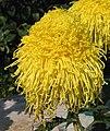 菊花-金色掛絲 Chrysanthemum morifolium 'Golden Hanging Threads' -香港圓玄學院 Hong Kong Yuen Yuen Institute- (12099378964).jpg