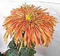 菊花-金雞紅翎 Chrysanthemum morifolium 'Golden Pheasant Red Feather' -香港圓玄學院 Hong Kong Yuen Yuen Institute- (12099658646).jpg