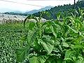 菸田 Tobacco Fields - panoramio.jpg