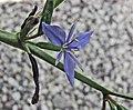 藍星鳶尾 Aristea ecklonii -比利時國家植物園 Belgium National Botanic Garden- (15060811787).jpg