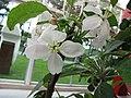 蘋果 Malus domestica Goldlane -荷蘭園藝展 Venlo Floriade, Holland- (9237481591).jpg