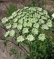 西風芹屬 Seseli libanotis -波蘭華沙 Powsin PAN Botanical Garden, Warsaw- (35837111703).jpg