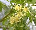 象腳木 Moringa thouarsii -深圳仙湖植物園 Fairy Lake Botanical Garden, China- (9216110774).jpg