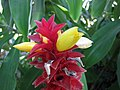 閉鞘薑屬 Costus comosus v bakeri -沖繩東南植物樂園 Southeast Botanical Gardens, Okinawa- (9579818531).jpg