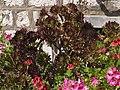黑法師 Aeonium arboreum var. atropurpureum - panoramio.jpg