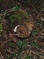 -2018-12-14 Rotting log, Southrepps circular Footpath, Lower Southrepps.JPG