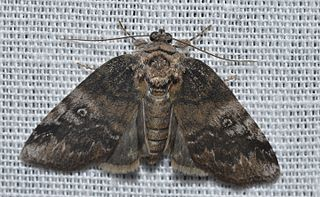 <i>Baileya levitans</i> species of insect