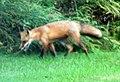 042 Red Fox (8057816853).jpg