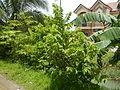 09671jfVillage Creek Atis Banana Plants San Miguel Bulacanfvf 12.JPG