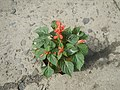 0998Ornamental plants in the Philippines 39.jpg