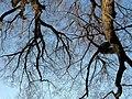 110 Lindenallee Ladendorf Winter Blick nach oben.jpg
