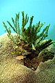 12-EastTimor-Dive Bubble Beach 22 (Coral)-APiazza.JPG