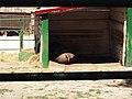 13.1.Асканія Нова.Кафрський буйвол (2).jpg
