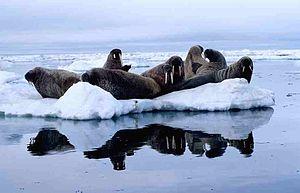 Foxe Basin - Atlantic walrus herd (Odobenus rosmarus rosmarus), on ice floe in Foxe Basin, July 1999