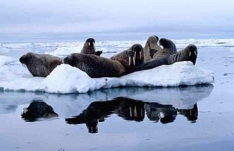 Foxe Basin - Atlantic walrus herd (Odobenus rosmarus rosmarus), on ice floe in Foxe Basin, July 1999