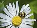 14 Spot Ladybird - Propylea quattuordecimpunctata (18005402302).jpg
