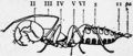 1911 Britannica-Arachnida-Schizomus crassicaudatus3.png