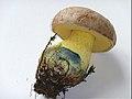 2009-07-30 Boletus radicans Pers 51787.jpg