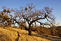 2011-12-04 Morgan Hill, Henry W. Coe State Wilderness Park 050 (6493299829).jpg