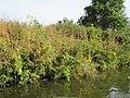 20120930Helianthus tuberosus12.jpg