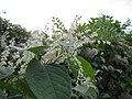20121013Reynoutria japonica2.jpg