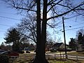 2013-12-28 13 31 54 Sun blocked by the twin trunks of a Pin Oak on a sunny winter day in Ewing, New Jersey.JPG