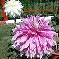 2013.05 Dahlia hybrid 2.jpg