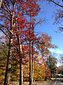 2014-11-02 13 54 48 Trees during autumn along Poor Farm Road in Hopewell Township, New Jersey.JPG
