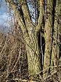 20140209Sambucus nigra07.jpg