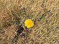 2015-03-27 14 50 21 Lone dandelion in a dry lawn along Idaho Street (Former U.S. Route 40) in Elko, Nevada.JPG