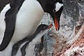 2015-12-30 152435 gentoo feeds his chick IMG 1182.jpg