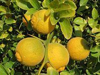 20151019Citrus trifoliata5.jpg