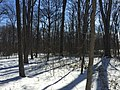 2016-01-31 13 21 03 A snowy woodland eight days after the Blizzard of 2016 in the Franklin Farm section of Oak Hill, Fairfax County, Virginia.jpg