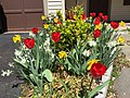 2016-04-01 12 34 29 Mixed planting of Red Oxford Tulips, King Alfred Daffodils and white daffodils around a Golden Euonymus along Tranquility Court in the Franklin Farm section of Oak Hill, Fairfax County, Virginia.jpg