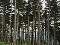 2016-07-25 14 15 42 Fraser Fir trees near the summit of Mount Mitchell in Mount Mitchell State Park, North Carolina.jpg