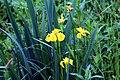 20160522 001 Kessel Weerdbeemden Gele lis Iris pseudacorus (27168192945).jpg