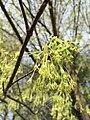 2017-04-10 17 25 41 Sugar Maple flowers along Franklin Farm Road near Thorngate Drive in the Franklin Farm section of Oak Hill, Fairfax County, Virginia.jpg