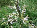 20170803Mentha longifolia1.jpg